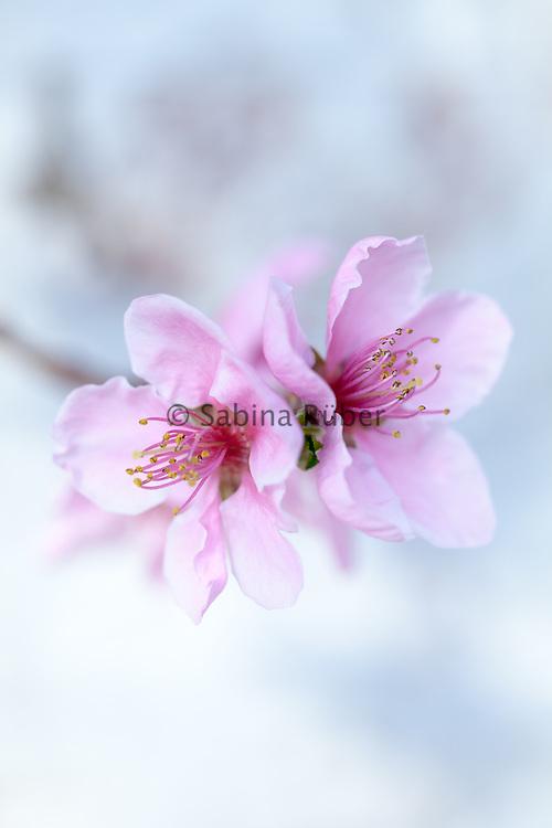 Prunus persica - peach blossom