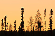 Black spruce trees silhouettes at dusk<br /> Lynn Lake<br /> Manitoba<br /> Canada