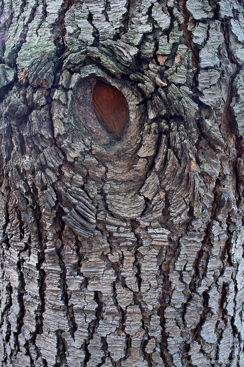 A hole in the bark of this black cottonwood (Populus balsamifera trichocarpa) is evidence of a branch that fell from that location.