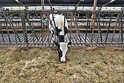Nederland, Dreumel, 2-4-2018 Koeien staan in de stal bij een melkveebedrijf. De dieren eten gras, hooi, kuilvoer. Er is een open dag georganiseerd door Albert Heijn . Deze koe staat alleen .Foto: Flip Franssen