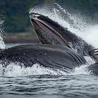 USA, Alaska, Tongass National Forest, Humpback Whales (Megaptera novaengliae) lunge from sea while bubble net feeding in Frederick Sound