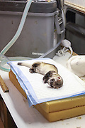 A sedated Black-footed ferret awaits examination in a portable field station near Wall, South Dakota