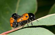 Close up of a pair of leaf beetles (Cryptocephalus bipunctatus) mating on a leaf in a coastal habitat at Rovinj, Croatia