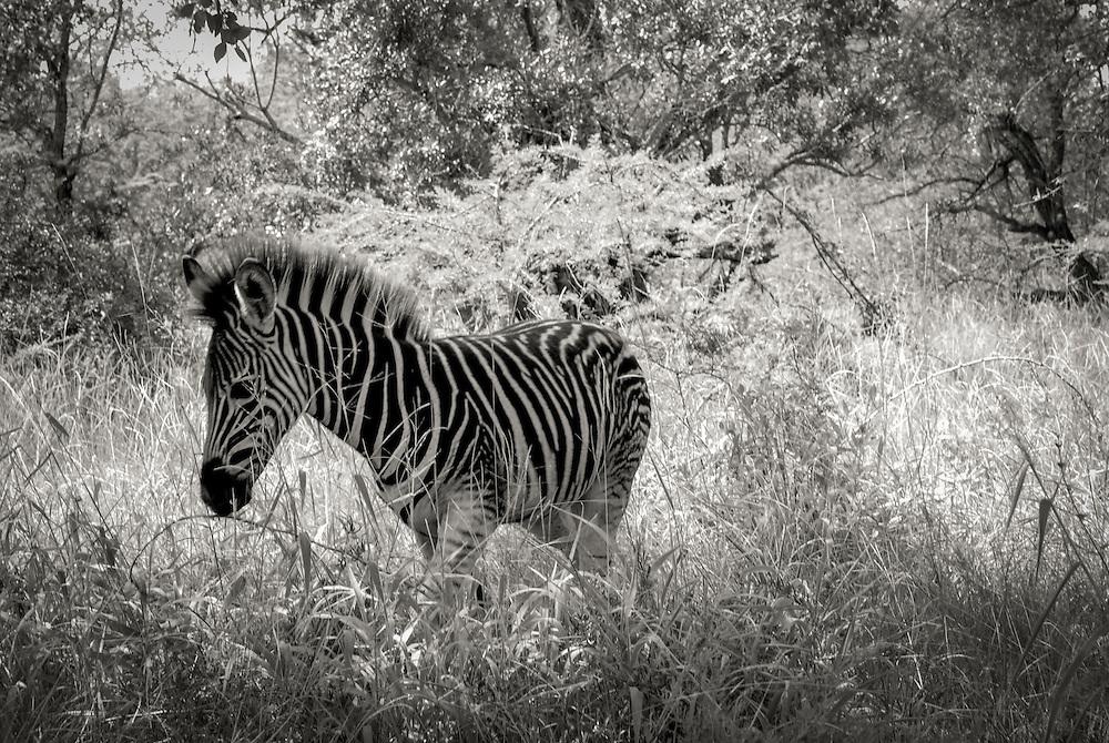 Young Zebra. Hluhluwe-Imfolozi Game Reserve, KwaZulu-Natal province of South Africa.
