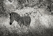 Young Zebra. Hluhluwe-Imfolozi Game Reserve, KwaZulu-Natal province of South Africa.