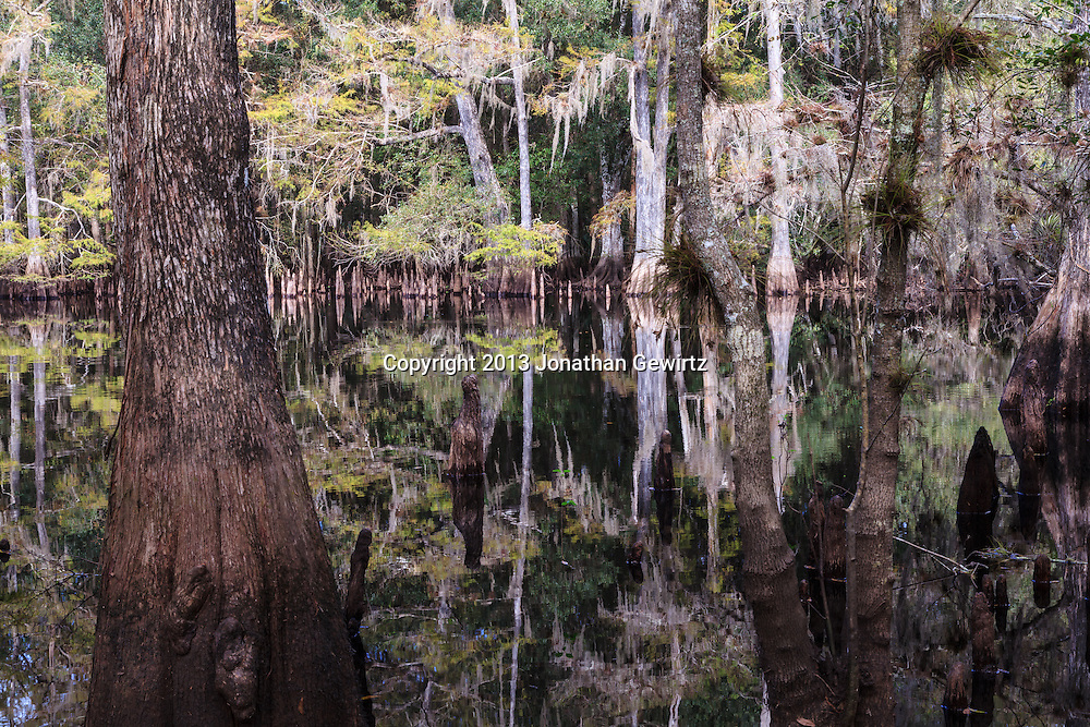 Cypress forest reflections on the lake at Ingram Crossing on Fisheating Creek in Florida's Fisheating Creek Wildlife Management Area. WATERMARKS WILL NOT APPEAR ON PRINTS OR LICENSED IMAGES.