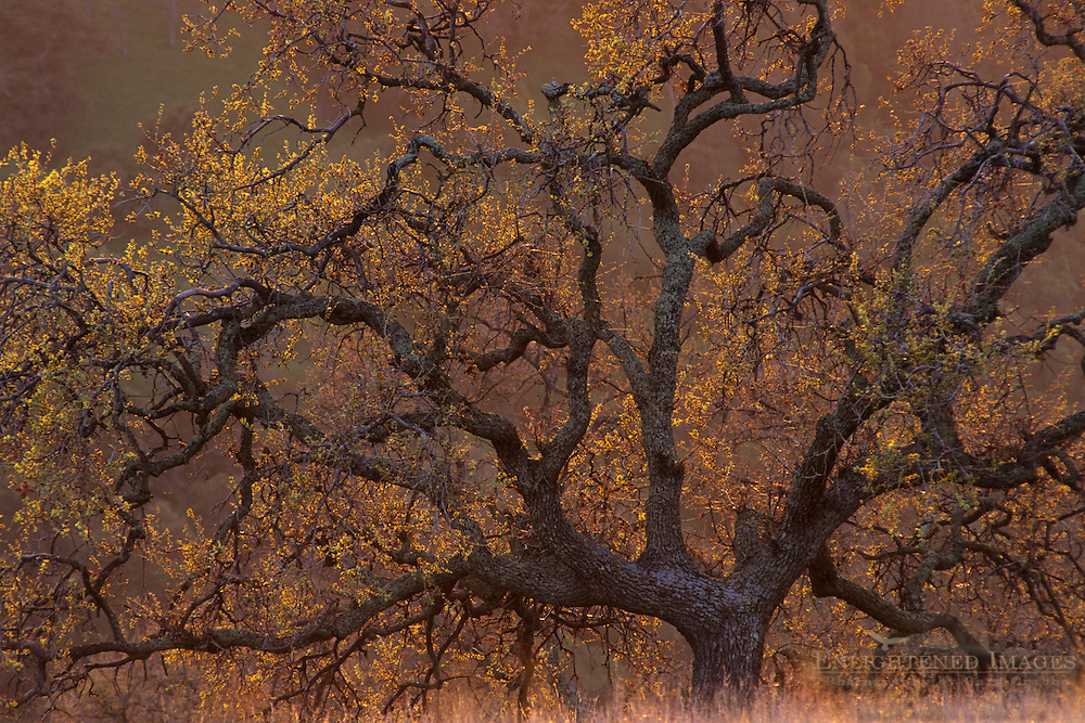 Oak tree at sunset (detail) Mt. Diablo State Park, Contra Costa County, CALIFORNIA