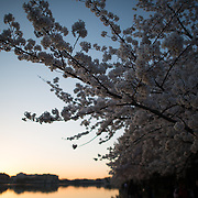 The cherry blossoms around the Tidal Basin in full bloom before dawn on a still morning.
