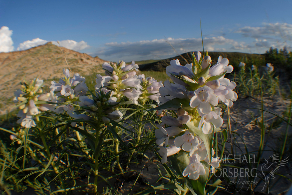 Nebraska Sandhills, near Mullen...Blowout Penstemon (federally endangered plant species) blooming in a sandhills blowout.