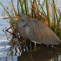 South Florida bird photography from Florida photographer Juergen Roth showing a heron and a duck playing hide and seek with alligators at the Green Cay Nature Center and Wetlands in Boynton Beach, Florida. Green Cay and Wakodahatchee Wetlands are amazing nature area for viewing and photographing wildlife in Florida. <br />