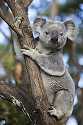 Koala <br /> Phascolarctos cinereus<br /> Adult male<br /> Queensland, Australia<br /> *Captive