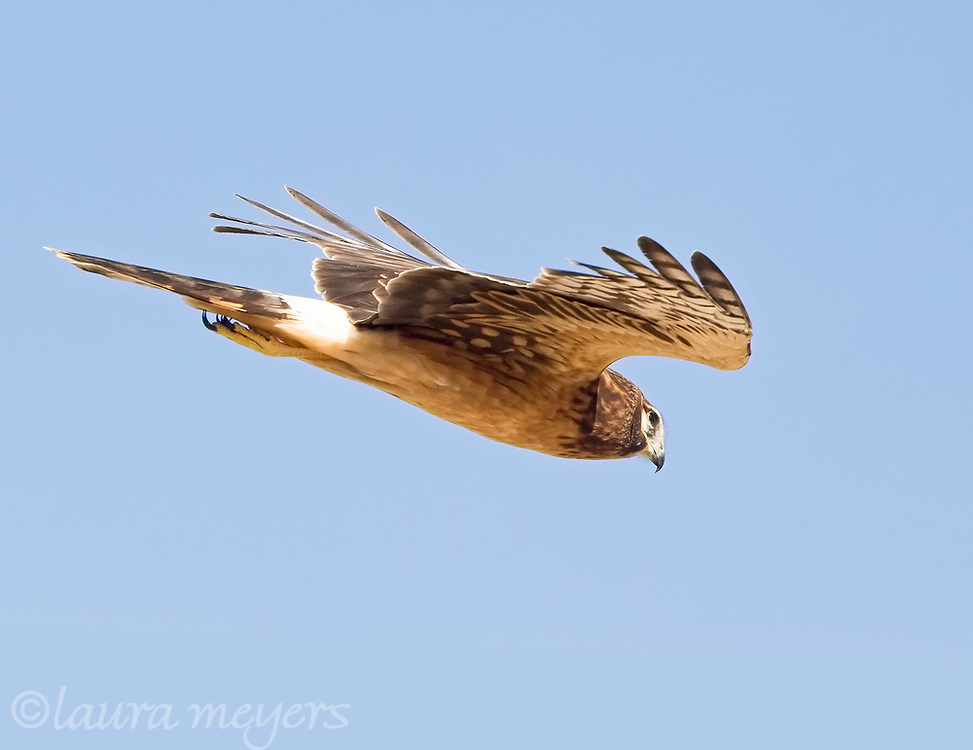 Northern Harrier in flight against blue sky photographed at Bosque del Apache NWR in New Mexico
