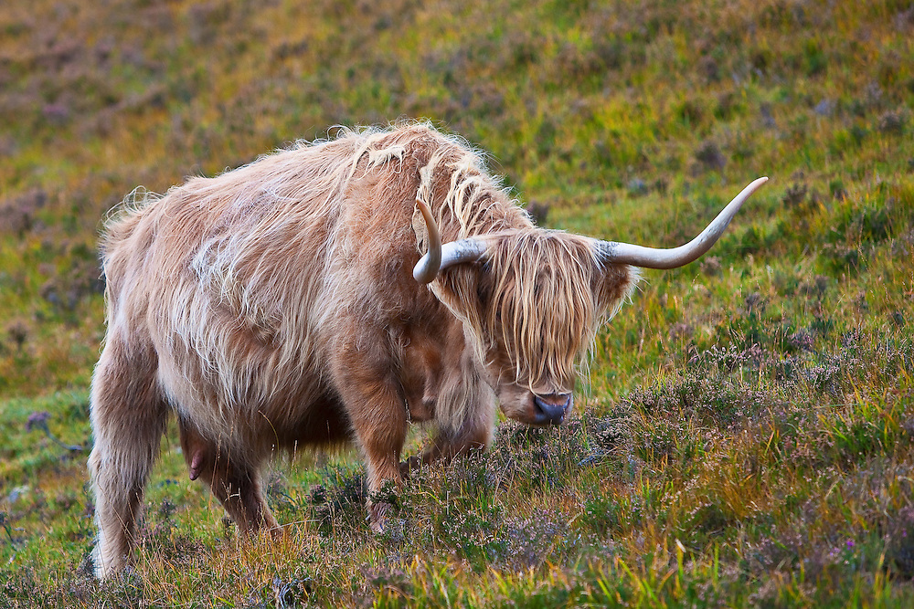 Highland Coo are prolific eaters of heather.