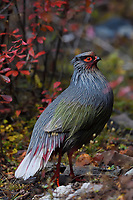 Blood pheasant, Ithaginis cruentus, male, sanding in amid autumn colours and sceneries in the Baima Snow Mountain Nature reserve, Yunnan, China