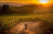 Sokol Blosser pinot noir harvest 2012, Dundee Hills, Willamette Valley, Oregon