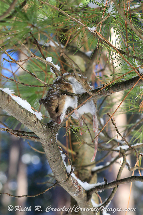 Dead deer mouse hagning in a tree, likely put there by an unkown raptor.