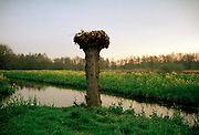 Pollard willow tree. © Holland Kodak Ektar serie