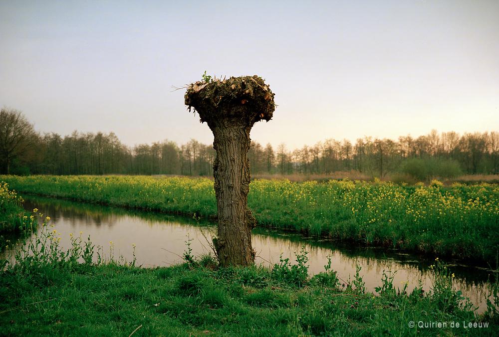 Knotwilg in Hollands landschap