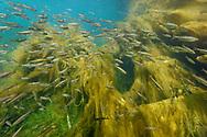 A swarm of souffia or western vairone (Telestes souffia) in the river Reuss, Lucerne, Switzerland