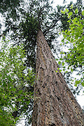 An evergreen tree soars vertically on the lush Forest Discovery Trail in South Whidbey State Park, on Whidbey Island, Washington, USA.