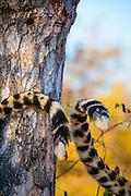 Cheetah (Acinonyx jubatus) tails