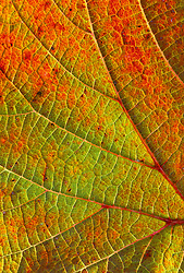 The foliage of Vitis coignetiae in autumn - Grape vine