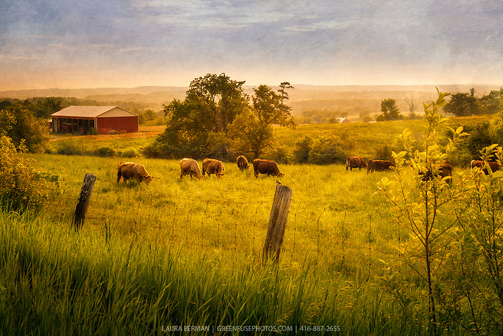 A herd of cattle grazing in a grassy field. during late afternoon's Golden Hour.