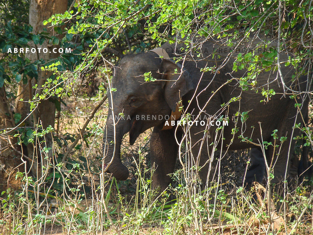 A Wild Asian Elephant roams around Udawalawe National Park lies on the boundary of Sabaragamuwa and Uva Provinces, in Sri Lanka. The national park was created to provide a sanctuary for wild animals