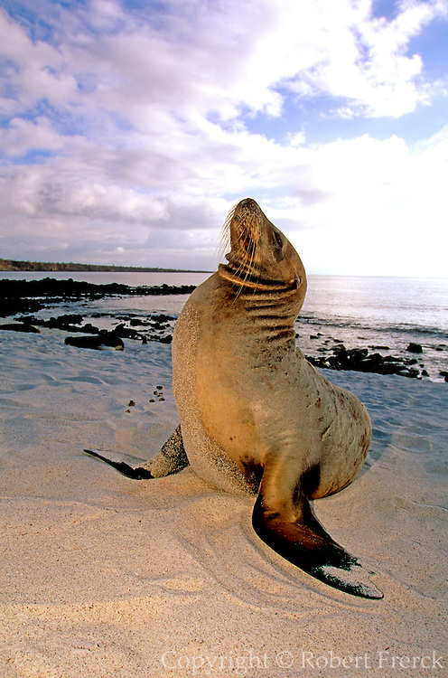ECUADOR, GALAPAGOS Sea Lions on the beach