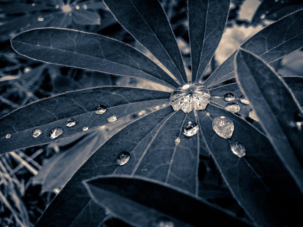 Rain drops on lupine leaves