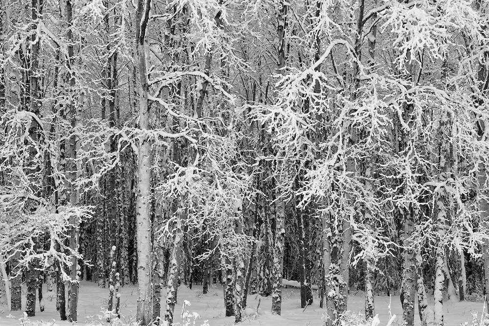 Birch trees are covered in snow in Chugach State Park in Eagle River Valley in Southcentral Alaska. Winter. Afternoon.