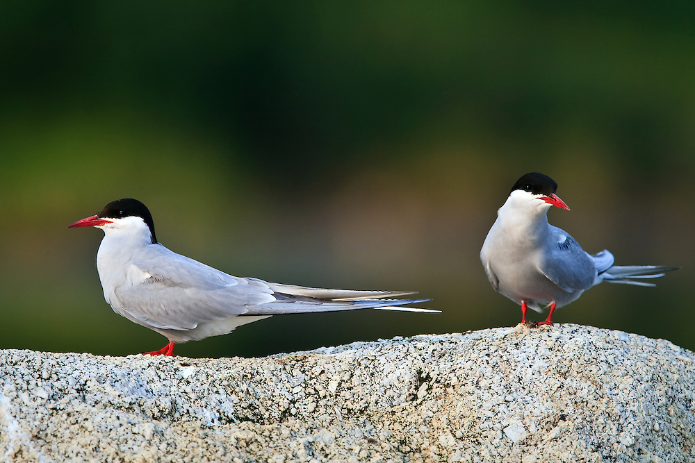 A pair of Arctic terns (Sterna paradisaea) rest and feed on a tundra kettle pond above Wonder Lake in Denali National Park, Alaska.  Arctic terns are famous for their Arctic to Antarctic long distance migrations, often flying well over 12,000 miles each way.  Due to this migration from Arctic summer to Antarctic summer, this tern sees more daylight than possibly any other animal in the world.