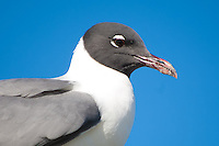 Close-up portrait of a laughing gull in Apalachicola, Florida on the northern Gulf Coast. A shrimp boat had just pulled in to port, and this sneaky opportunist was just waiting for an easy meal!