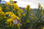 Monarch; Danaus plexippus; on goldenrod; NJ, Forsythe NWR