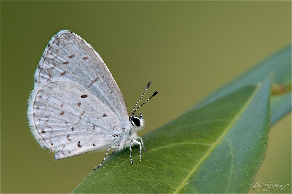Appalachian Azure Butterfly (Celastrina neglectamajor)