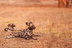 ZIMBABWE African Wild Dogs