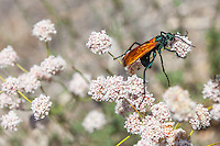 Pepsis sp. (Tarantula Hawk) at Upper Big Tujunga Canyon, Angeles NF, Los Angeles Co, CA, USA, on 10-Jul-15