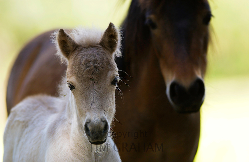 Shetland pony and foal , North Island, New Zealand
