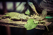 Iguanas in the Iguana Preserve at the San Ignacio Resort, Belize