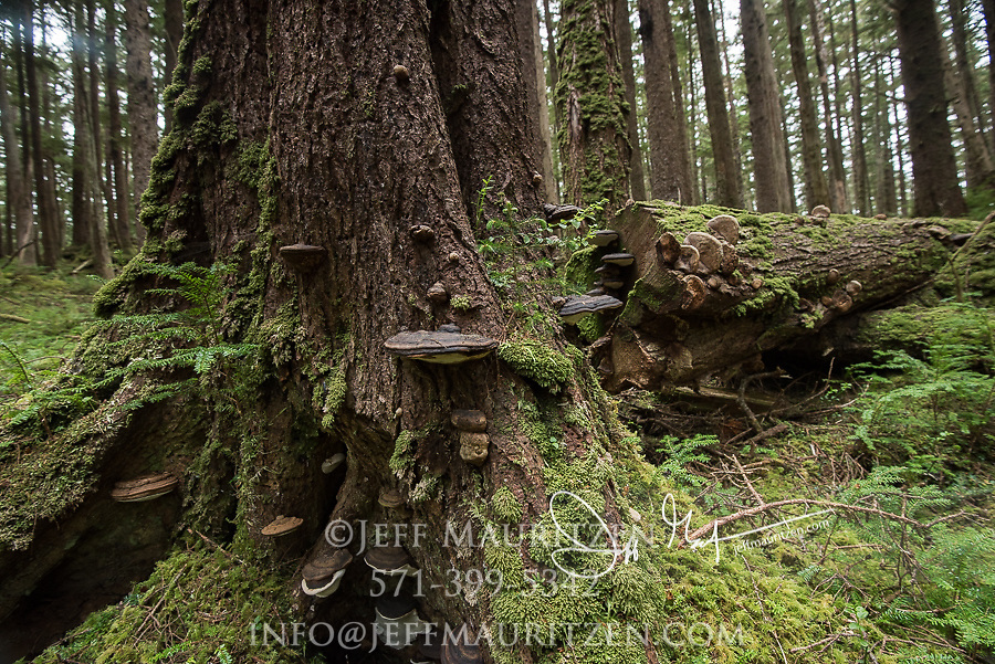 Shelf fungus on a tree in the rainforest on SGang Gwaii, Haida Gwaii, Queen Charlotte Islands, Gwaii Haanas National Park, British Columbia, Canada.
