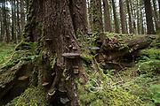 Shelf fungus on a tree in the rainforest on SGang Gwaii, Haida Gwaii, Queen Charlotte Islands, Gwaii Haanas National Park, British Columbia, Canada.