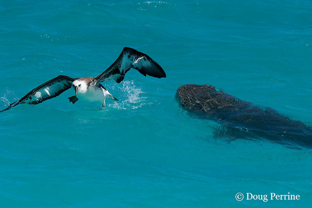 Laysan albatross fledgling, Phoebastria immutabilis, which has landed in the lagoon on its first attempt at flight, escapes from an attack by  tiger shark, Galeocerdo cuvier, at East Island, French Frigate Shoals, Papahanaumokuakea National Monument, Northwest Hawaiian Islands ( Central Pacific Ocean )