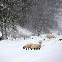 Heavy Snow in Perthshire...22.01.13<br /> Sheep in a snow covered field next to the A91 road to Auchterarder near Glendevon;<br /> Picture by Graeme Hart.<br /> Copyright Perthshire Picture Agency<br /> Tel: 01738 623350  Mobile: 07990 594431