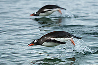 Two Gentoo Penguins leap from the water in unison in the Gerlache Strait, Antarctica.