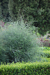 Asparagus and box hedge. Buxus sempervirens