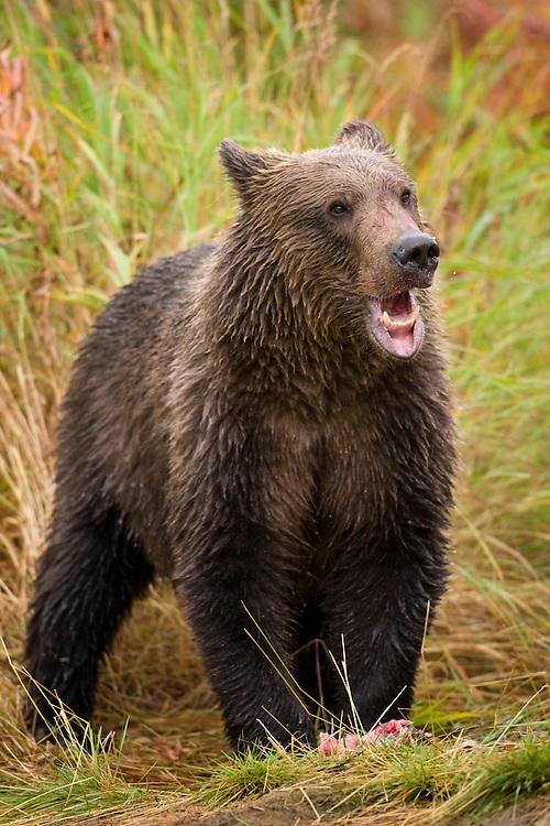 USA, Alaska, Katmai National Park, Kinak Bay, Brown Bear Cub (Ursus arctos) feeding on spawning salmon along river bank