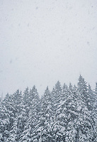Snow falling in the sky above a conifer forest. Washington State Cascade mountains.