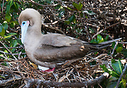 Nesting with egg. The Red-footed Booby (Sula sula) is a large seabird of the gannet family, Sulidae. Sula sula breeds in colonies and is found widely on tropical islands. The Red-footed Booby is the smallest of all boobies at 71 cm in length and with a 137 cm wingspan, and has red legs with pink and blue bill and throat pouch. They are powerful and agile fliers but clumsy in takeoffs and landings. The brown morph of this species is brown with a white belly, rump, and tail. The white morph is mostly white with black on the flight feathers. Young birds are greyish with browner wings and pink legs. The sexes appear similar. Photographed on Isla Genovesa (or Tower Island, or Bird Island), a shield volcano in the Galápagos Islands, in the eastern Pacific Ocean. National Park visitors follow licensed guides up the steep path of Prince Philip's Steps (up a cliff 25 meters vertically) to seabird colonies full of life amidst a thin palo santo forest growing in a rocky desert plain.