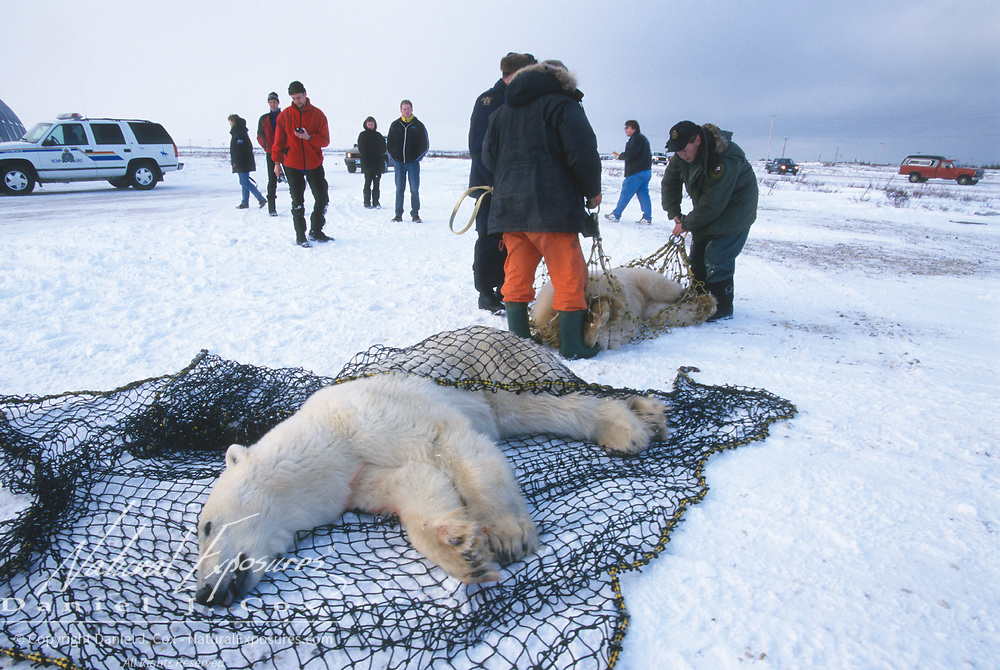 Biologist moving problem polar bears (Ursus maritimus) out of Churchill. Manitoba, Canada