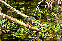 The skittish and shy green heron at the water's surface keeping an eye on minnows in the Sweetwater Strand, Monroe County, Florida.